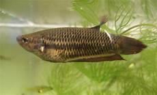 15 Jenis Ikan Cupang Liar Hias Hingga Aduan
