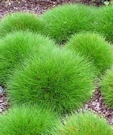 gräser im steingarten festuca gautieri pic carlit b 228 renfell schwingel