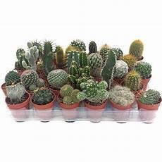 vasi per cactus cactus selezione mix in vaso 216 5 5 cm acquista da obi