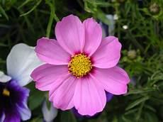 blume lila lila blume von englishlady galerie heise foto