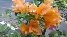 Gambar Bunga Warna Orange Pickini