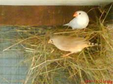 Taman Burung Bird Budgie Cockteil Java Sparo