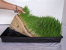 1000 images about growing at home wheatgrass