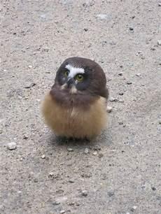 24 Foto Burung Hantu Lucu Koleksi Rial