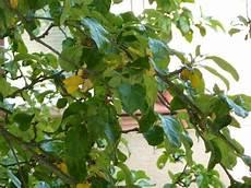 apfelbaum hat braune blätter r 252 ben forum apfelbaum hat gelbe bl 228 tter