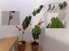 Avocado Pflanze Schneiden - selbstgezogene avocadopflanze spitze kappen oder nicht