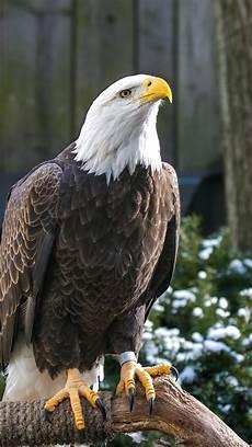 bald eagle iphone wallpaper wallpaper 938x1668 bald eagle eagle bird