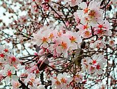 fiori mandorlo ilclanmariapia fiori di mandorlo e mandorle