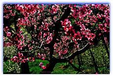 fiori di rosa fiori di pesco beatris click fiori rosa fiori di pesco fiori nuovi