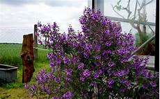 ambrosia blühend lila minzestrauch lila bl 252 hend pflanze prostanthera