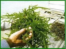 Budidaya Rumput Laut Panduan Budidaya Agro
