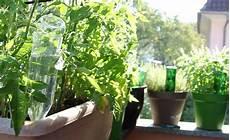 zimmerpflanzen im urlaub bewässern pflanzen bew 228 ssern mit pet flaschen garten