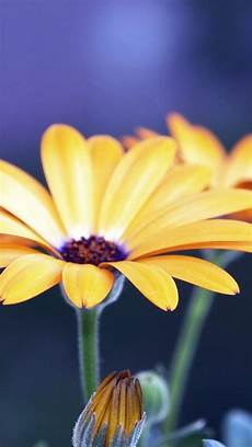 yellow flower wallpaper iphone 20 free flowers iphone wallpapers premiumcoding