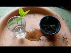 heidelbeeren vermehren durch samen stecklinge oder absenker