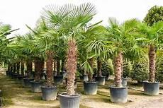 Palmen Für Den Garten - trachycarpus fortunei hanfpalme 290 300 cm winterhart