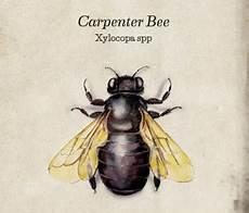 bienen niedrigere klassifizierungen carpenter bee western exterminator