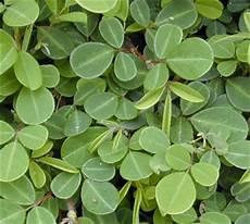 plante pour le foie domie plantes desmodium pour le foie