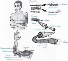 Sistem Gerak Otot Pada Manusia