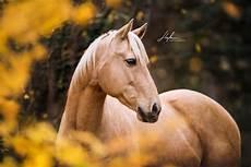 palomino quarter im herbst pferd bilder foto
