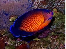 33 Gokil Abis Gambar Ikan Hias Yg Unik