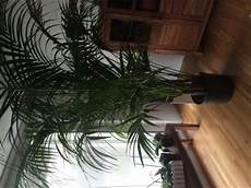 kentia palme braune blätter kentia palme braune bl 228 tter zu kleiner topf pflanzen