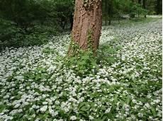 Ail Des Ours Allium Ursinum Culture Entretien Semis