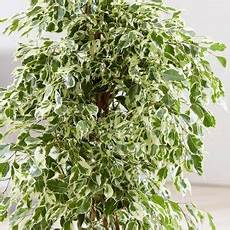 Ficus Conseils Entretien Arrosage Taille