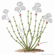 tailler les hortensias photos 201 pingl 233 sur jardin journal horticole