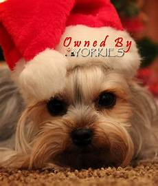 merry christmas yorkie dogs yorkie moms yorkie terrier