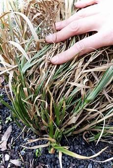 wann gräser schneiden gr 228 ser schneiden ein fr 252 hjahrsschnitt f 252 r frischen