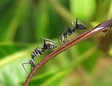 ameisen im beet ameisen im hochbeet bek 228 mpfen garten ratgeber net