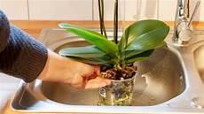 wie oft orchideen gießen orchideen richtig gie 223 en frag mutti