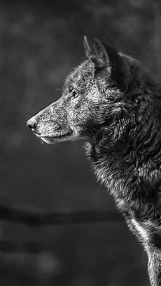 black and white wolf wallpaper iphone wallpaper wolf black 4k animals 19544