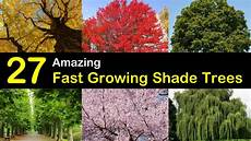 27 Amazing Fast Growing Shade Trees