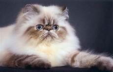 foto gatti persiani cuccioli gatto persiano foto di cuccioli persiani centrinno