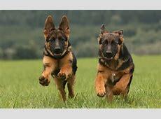 mooi plaatjes van politiehonden   Politiehonden lodewijk