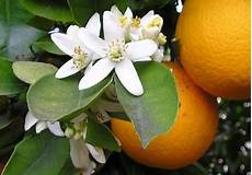 fiori d arancio awakenings shout outs for the orange blossom
