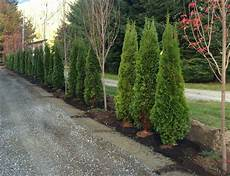 landscapes thuja occidentalis smaragd