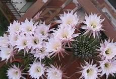 fiori di cactus fiori cactus