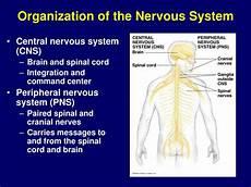 ppt neurophysiology powerpoint presentation id 168209