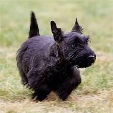 scottish terrier prix scottish terrier junglekey fr image