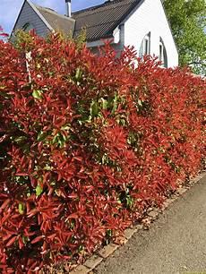 photinia hecke red robin schweizer versand baumschule