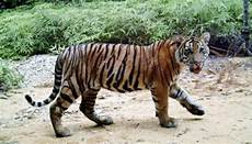 Harimau Sumatera Kini Tak Lagi Takut Pada Manusia