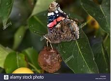 insekt an fauligem obst admiral admiral on fruit saugt an wildbirnen