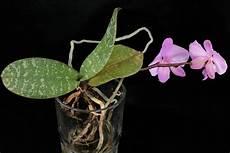 wie oft orchideen gießen orchideen gie 223 en
