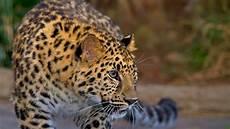 leopard san diego zoo animals plants