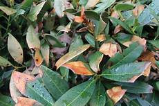q a what s wrong with my cherry laurel shrubs maryland