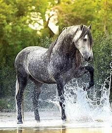 Ausmalbilder Pferde Im Wasser Grauschimmel Im Wasser Pferde Tiere Und Apfelschimmel