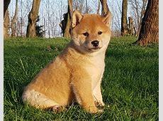 Rascal   Shiba Inu Puppy for sale   Euro Puppy