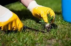 Rasen Unkraut Befreien So Geht S Meister Und Meister